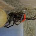Photos: セアカゴケグモのメスと卵嚢(らんのう) - 6