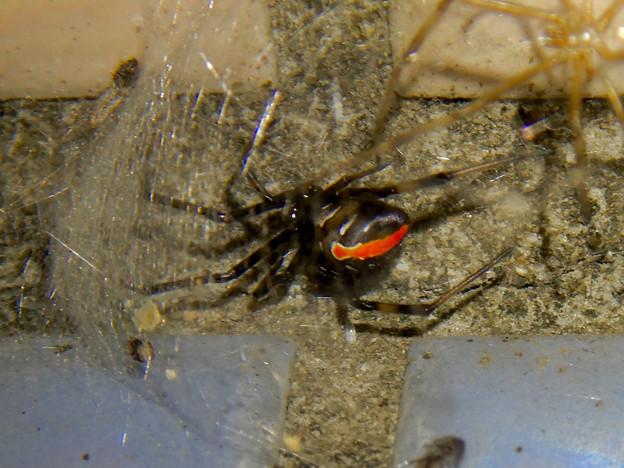 セアカゴケグモのメス - 2