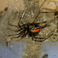 Photos: セアカゴケグモのメス - 2