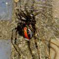 セアカゴケグモのメス - 4
