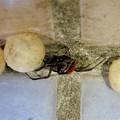 セアカゴケグモのメスと卵嚢(らんのう) - 1