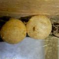 セアカゴケグモのメスと卵嚢(らんのう) - 4