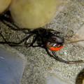 セアカゴケグモのメスと卵嚢(らんのう) - 7