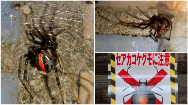 桃花台中央公園周辺でセアカゴケグモに注意!(Twitter用)- 1