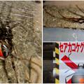 Photos: 桃花台中央公園周辺でセアカゴケグモに注意!(Twitter用)- 1