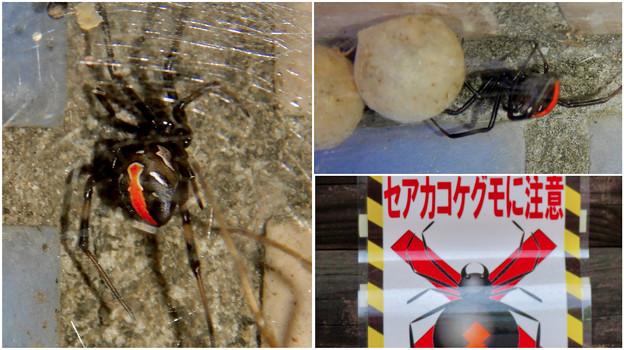 桃花台中央公園周辺でセアカゴケグモに注意!(Twitter用)- 2