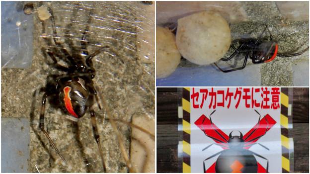桃花台中央公園周辺でセアカゴケグモに注意!(Twitter用)- 4