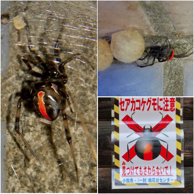桃花台中央公園周辺でセアカゴケグモに注意!(ブログ用)- 2