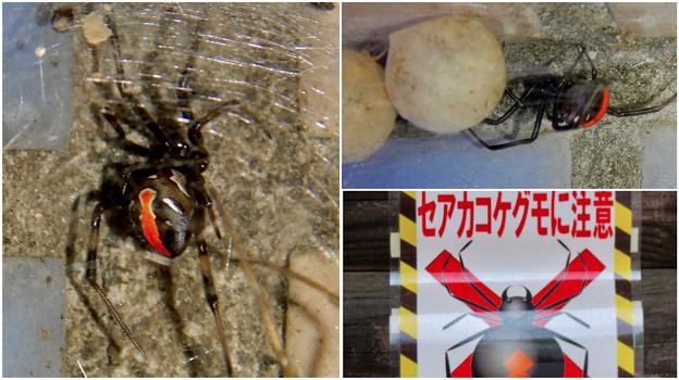 桃花台中央公園周辺でセアカゴケグモに注意!(Twitter用)- 3