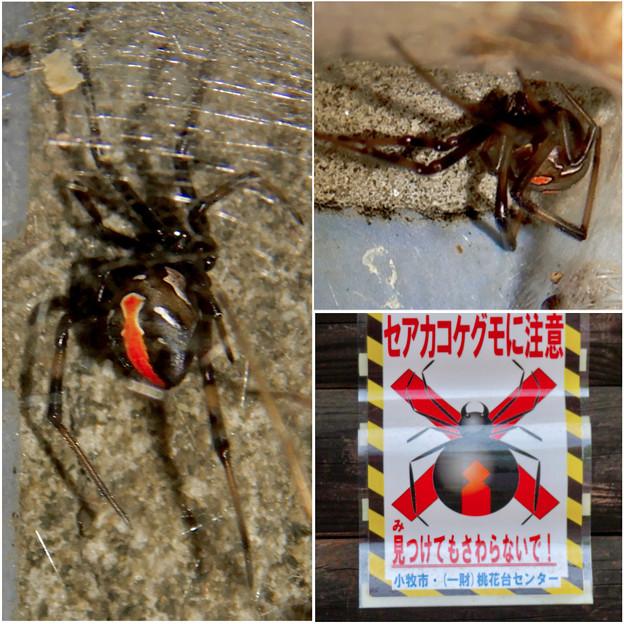 桃花台中央公園周辺でセアカゴケグモに注意!(ブログ用)- 1