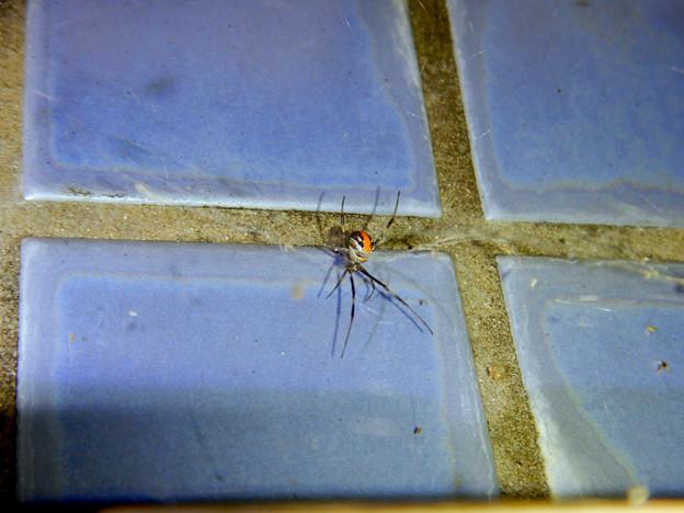 桃花台中央公園のトイレの外壁にいたセアカゴケグモ - 1