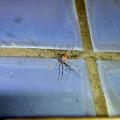 Photos: 桃花台中央公園のトイレの外壁にいたセアカゴケグモ - 1