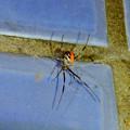 Photos: 桃花台中央公園のトイレの外壁にいたセアカゴケグモ - 2