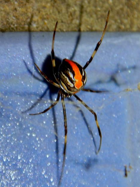 桃花台中央公園のトイレの外壁にいたセアカゴケグモ - 5
