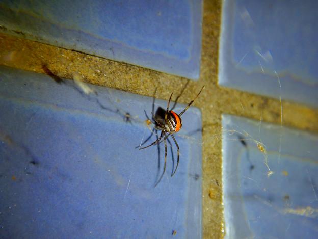 桃花台中央公園のトイレの外壁にいたセアカゴケグモ - 6