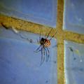 Photos: 桃花台中央公園のトイレの外壁にいたセアカゴケグモ - 6