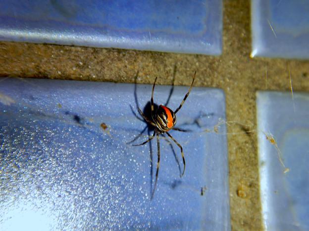 桃花台中央公園のトイレの外壁にいたセアカゴケグモ - 4