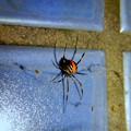 Photos: 桃花台中央公園のトイレの外壁にいたセアカゴケグモ - 4