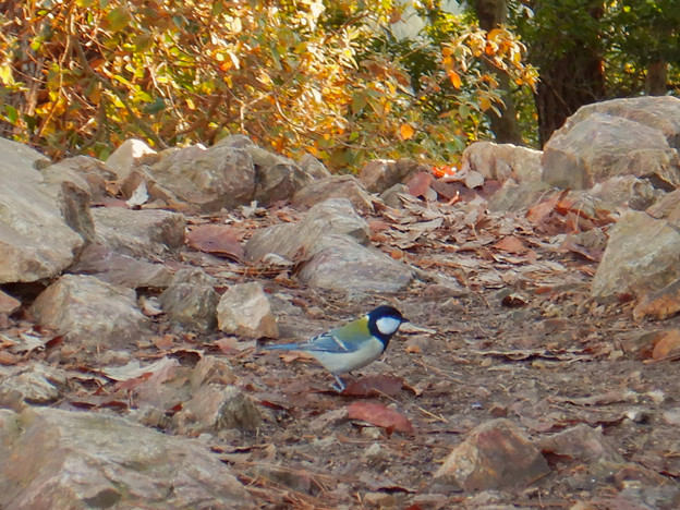 弥勒山山頂にいた鳥 - 1:地面の上にいたシジュウカラ