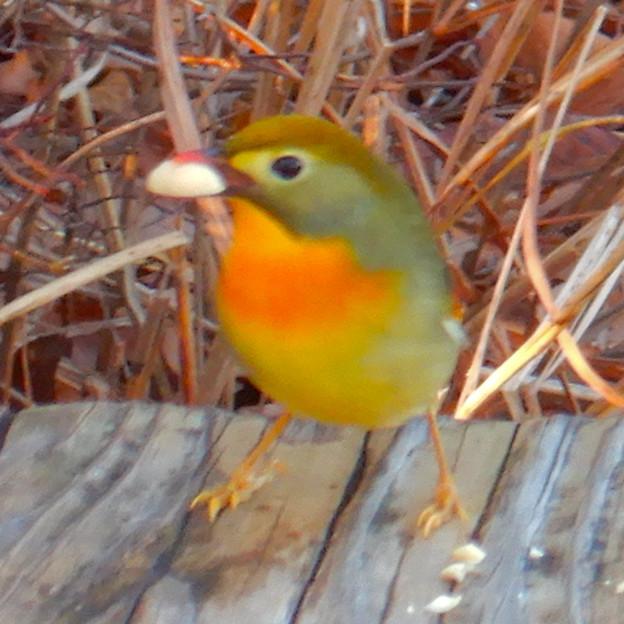 弥勒山山頂にいた鳥 - 4:ピーナッツを咥えるソウシチョウ
