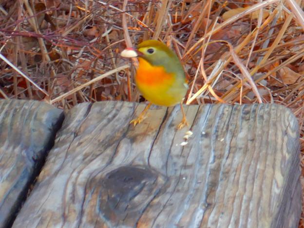 弥勒山山頂にいた鳥 - 3:ピーナッツを咥えるソウシチョウ