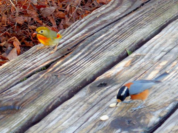 弥勒山山頂にいた鳥 - 7:ピーナッツを食べにきたソウシチョウとヤマガラ