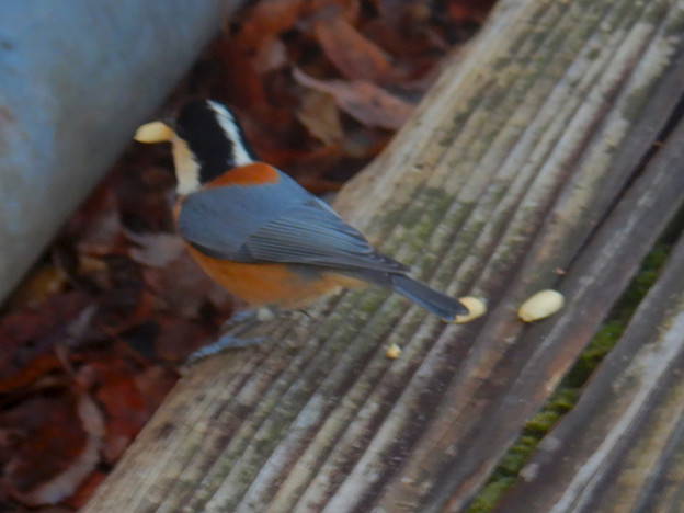 弥勒山山頂にいた鳥 - 9:ピーナッツをくわるヤマガラ
