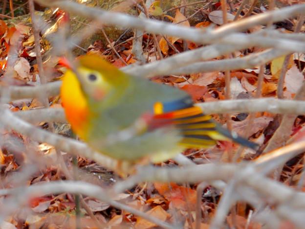 弥勒山山頂にいた鳥 - 5:色合いがキレイなソウシチョウ(ピンぼけ)