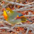 Photos: 弥勒山山頂にいた鳥 - 5:色合いがキレイなソウシチョウ(ピンぼけ)