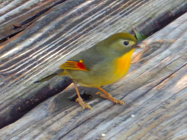 弥勒山山頂にいた鳥 - 8:ピーナッツをくわえるソウシチョウ