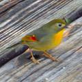 Photos: 弥勒山山頂にいた鳥 - 8:ピーナッツをくわえるソウシチョウ