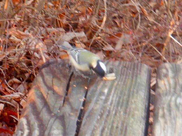 弥勒山山頂にいた鳥 - 11:ピーナッツをくわえるシジュウカラ