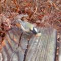 Photos: 弥勒山山頂にいた鳥 - 11:ピーナッツをくわえるシジュウカラ