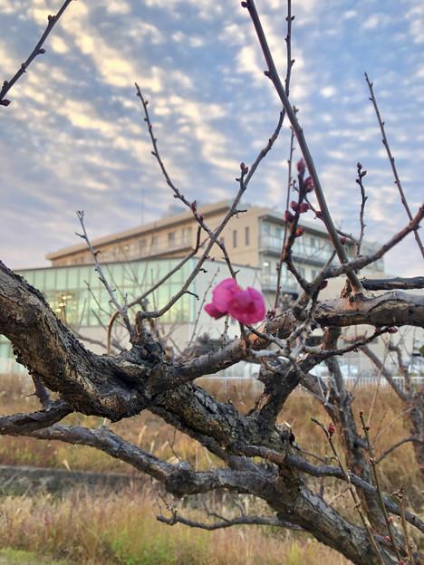 12月なのにもうチラホラ咲いてた落合公園の紅梅 - 3
