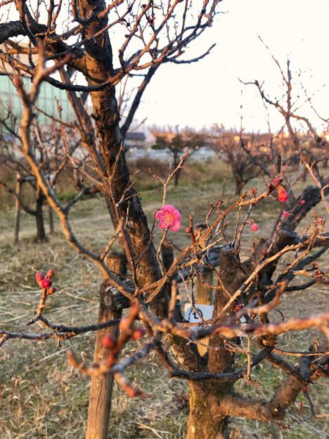 12月なのにもうチラホラ咲いてた落合公園の紅梅 - 5