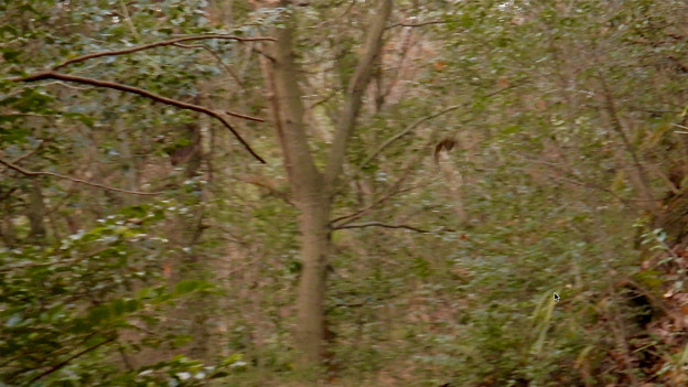築水池沿いで見かけた1mくらいの羽の長さがある大きな鳥 - 1
