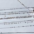 Photos: 電線の上に止まっていた沢山のスズメ - 1