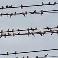 Photos: 電線の上に止まっていた沢山のスズメ - 2