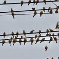 Photos: 電線の上に止まっていた沢山のスズメ - 4