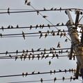 Photos: 電線の上に止まっていた沢山のスズメ - 3