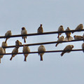 Photos: 電線の上に止まっていた沢山のスズメ - 5