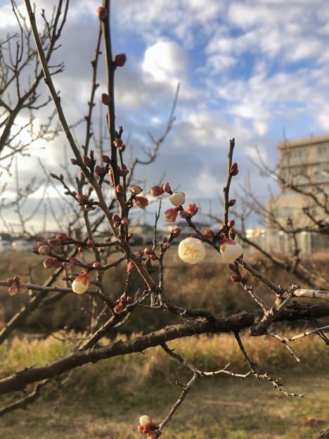 白梅も咲いていた落合公園の梅(2021年1月4日) - 1