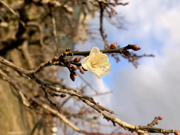 白梅も咲いていた落合公園の梅(2021年1月4日) - 2