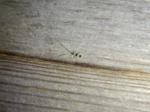 弥勒山の休憩所で時々見かける小さな縞模様の虫 - 1