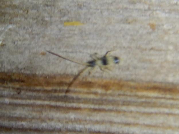 弥勒山の休憩所で時々見かける小さな縞模様の虫 - 3