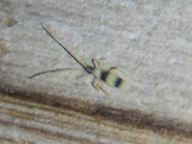 弥勒山の休憩所で時々見かける小さな縞模様の虫 - 2