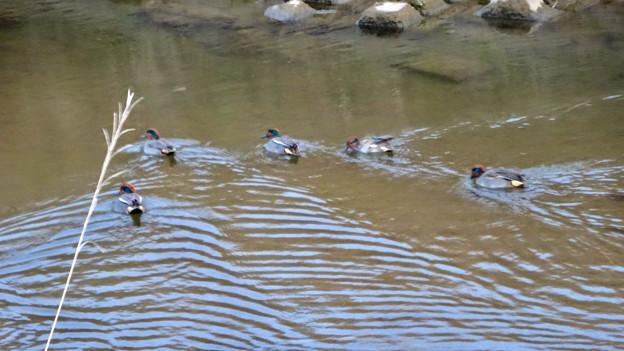 八田川で泳いでいたコガモの群れ