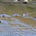 Photos: 八田川で泳いでいたコガモの群れ