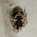 Photos: ユニクロのトイレにいたネコハグモ? - 9