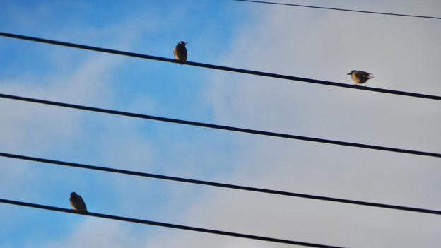電線に止まっていた、たぶんムクドリ